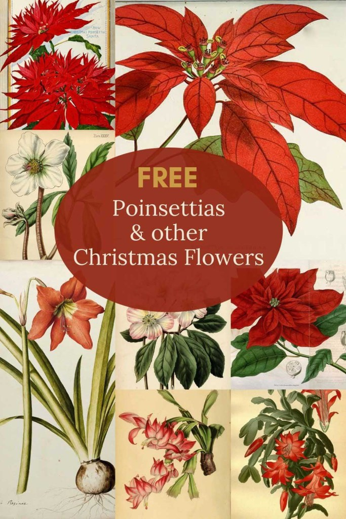 Free poinsettia drawings