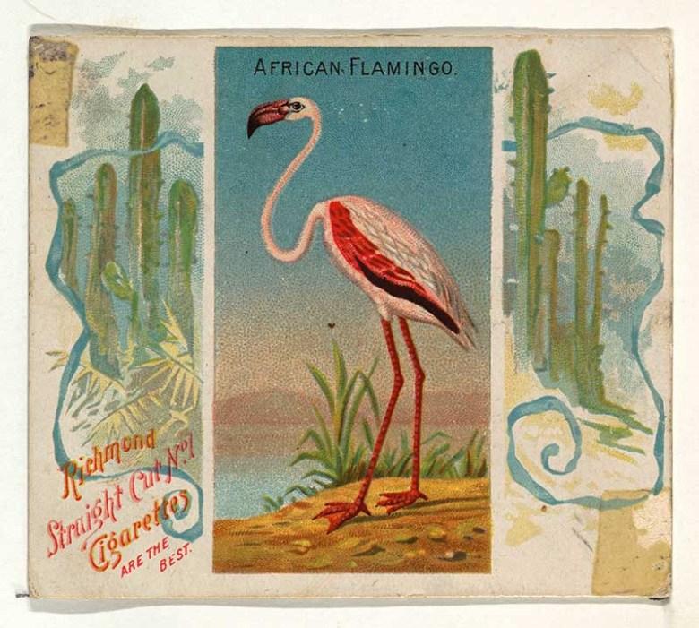 African Flamingo Cigarette card
