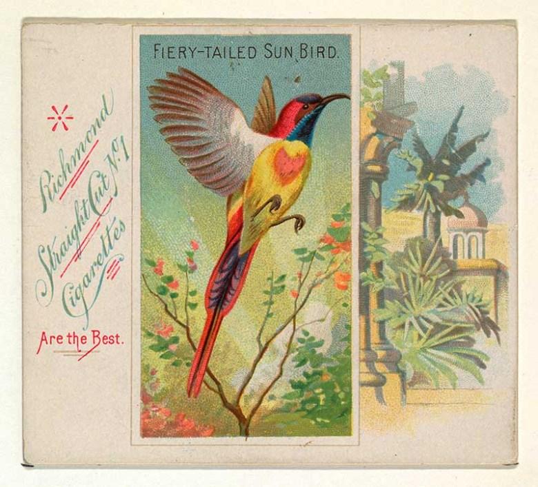 fire tail sunbird cigarette card