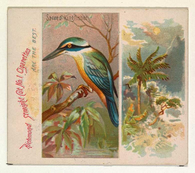 vintage tropical bird illustration Sacred Kingfisher