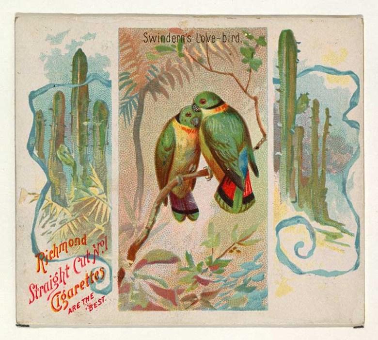 Swindern's Love-bird, from Birds of the Tropics series (N38) for Allen & Ginter Cigarettes