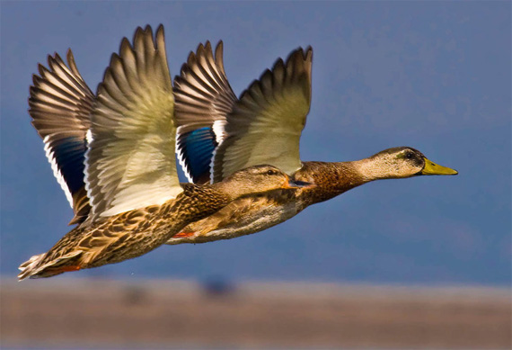 """""""Flying Close"""" captured by trinko"""