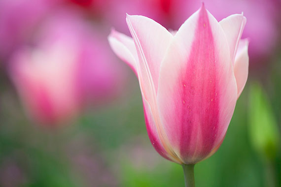 tips for tulip photos