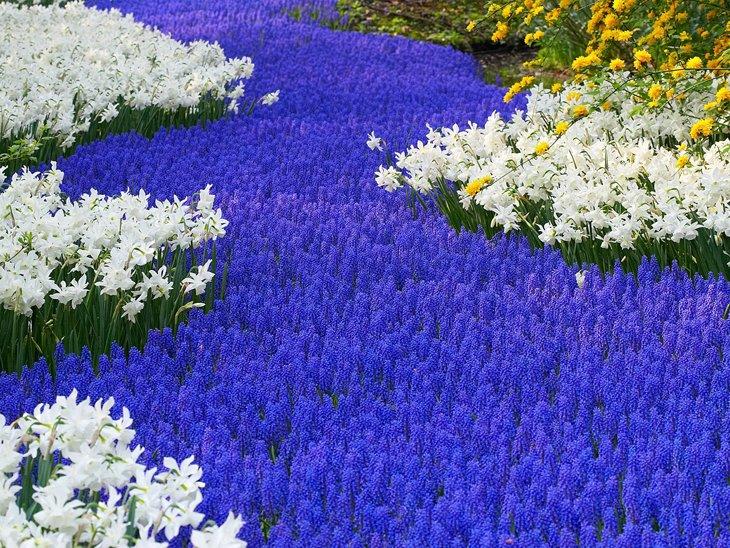 World Largest Flower Garden - Netherlands (12)
