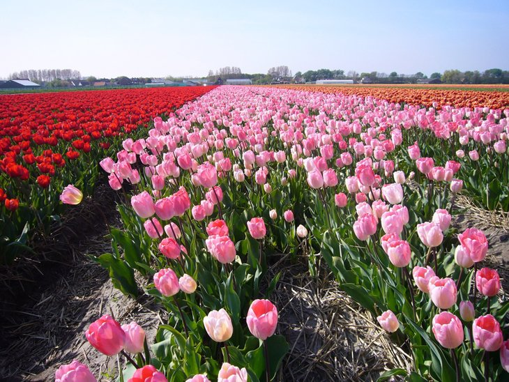 World Largest Flower Garden - Netherlands (6)