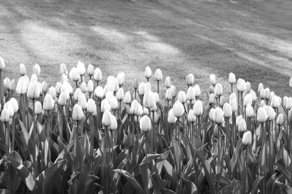 Fotografare paesaggi - tulipani filtro rosso