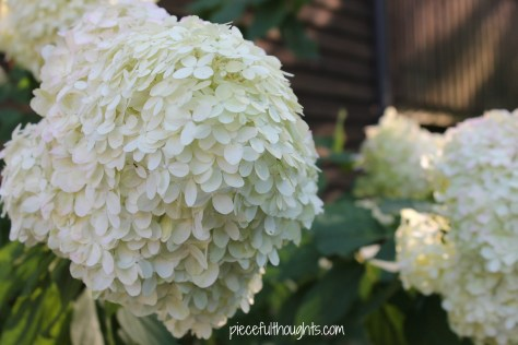 Wednesday Progress - hydrangea tree - piecefulthoughts.com