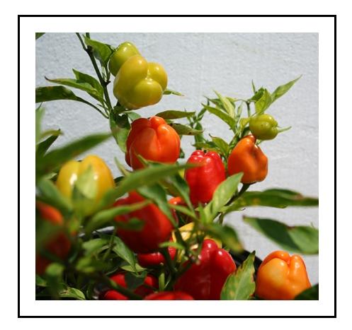 Cajun BelleBell Pepper PlantsPiedmont Farm  Garden
