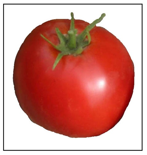 Abe Lincoln Tomato Plants For Sale Online Red Heirloom