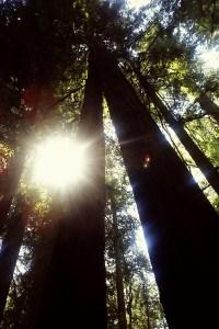 Redwood sun flare