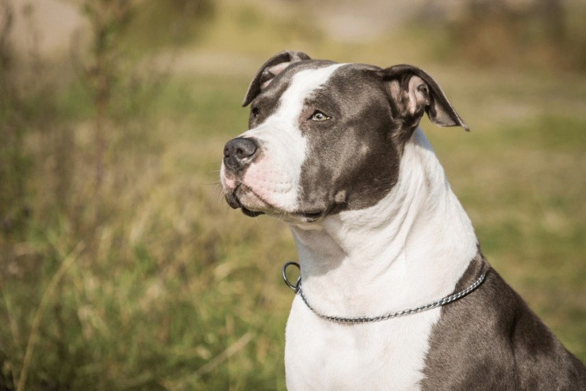 American staffordshire terrie