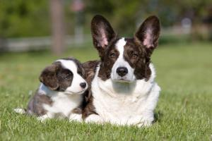 Pies rasy Welsh Corgi Cardigan