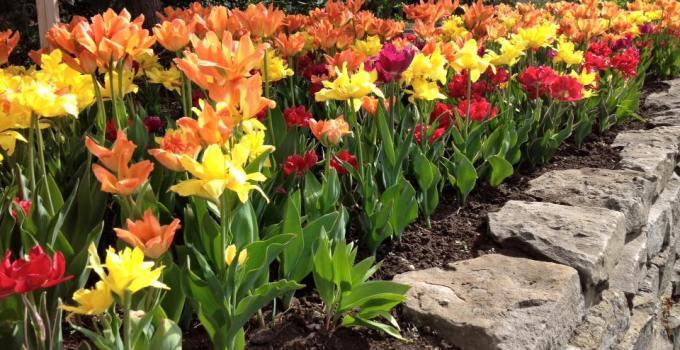 Tulip Festival Fun in Ottawa
