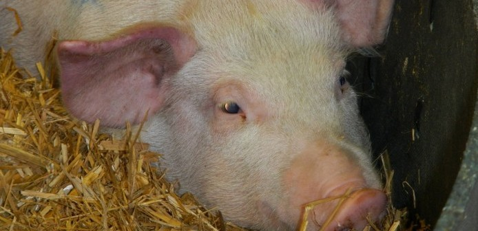 Pirbright and ViroVet join forces to develop African swine fever ...