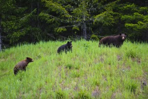 Black Bear with 2 Cubs
