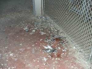 pigeon feces