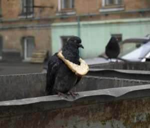 Pigeon with a bread necklace. A new symbol of wealth among pigeon flocks.