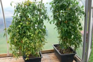 Tomaatin ruukkuviljelyä