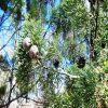 Australian white cypress