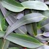 Eucalyptus Blue Gum