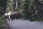 Gajah liar turun ke pemukiman warga. (Foto Ist)