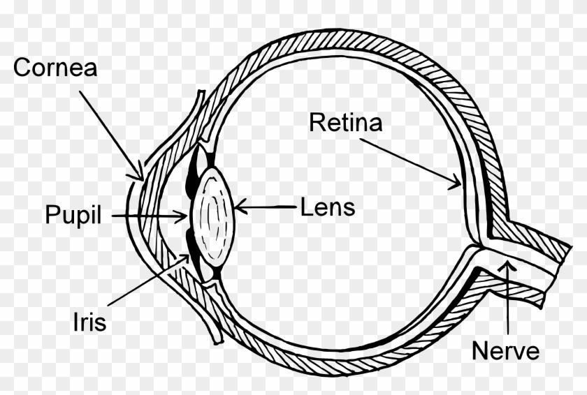 Clipart Big Image Png - Unlabeled Human Eye Diagram ...