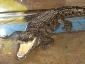 Crocodilo do nilo. De seu esterco combinado com mel, um contraceptivo foi obtido para mulheres