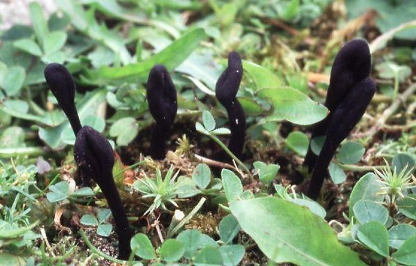 Trichoglossum walteri