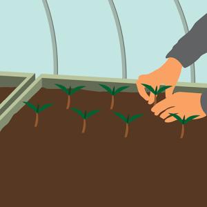 Illustration du repiquage des plants sous serre