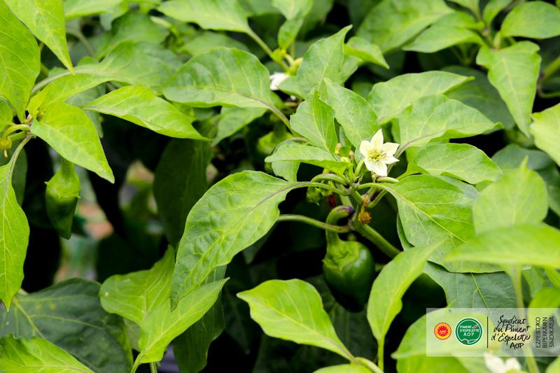 Fleur de Piment d'Espelette