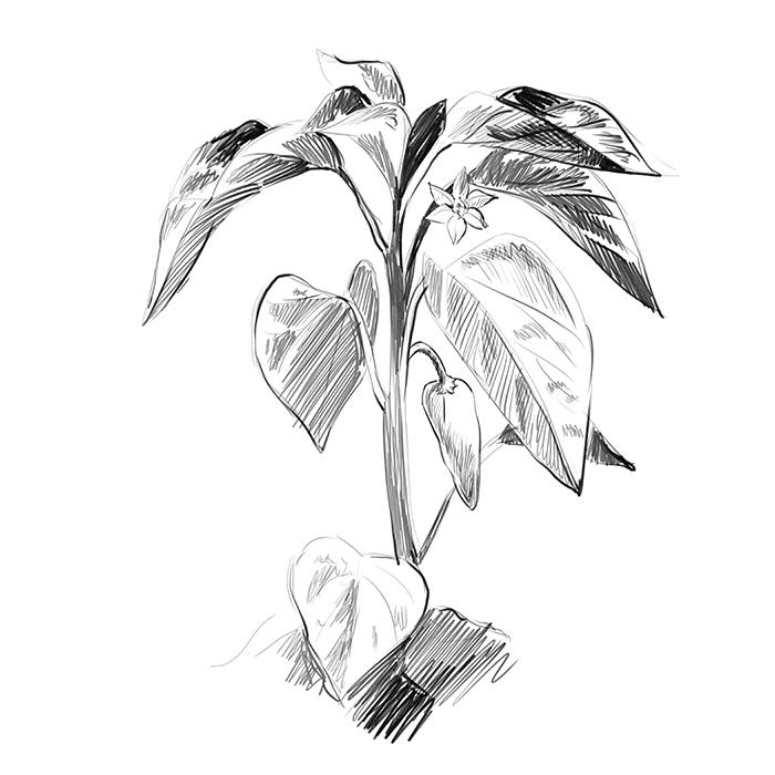 dessin d'un plant de Piment d'Espelette