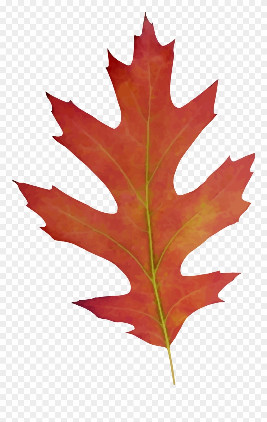 hight resolution of big image oak leaf fall drawing clipart