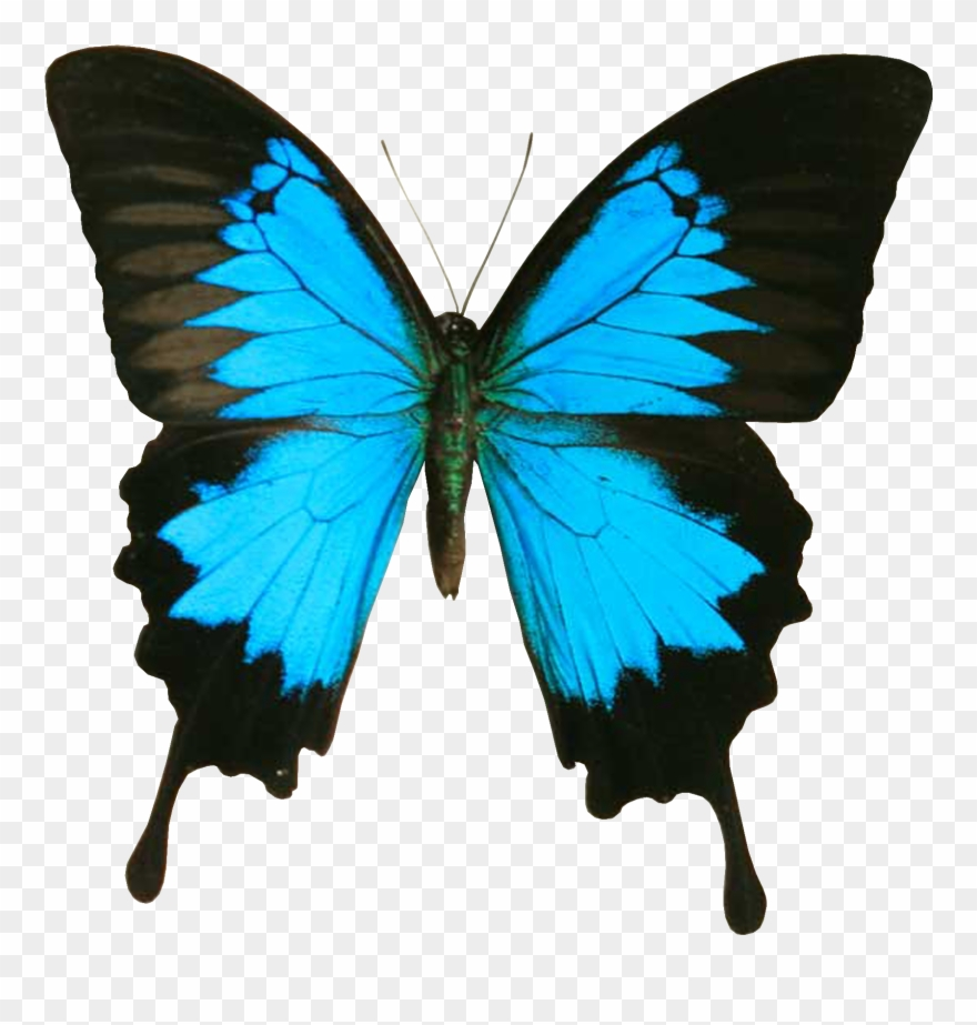 hight resolution of blue and black butterfly clipart papilio ulysses png download