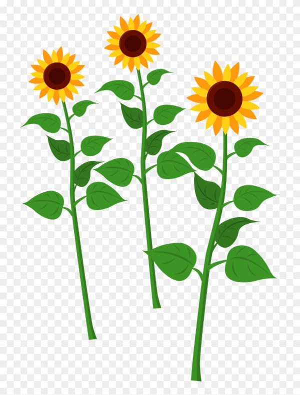 sunflowers - common sunflower clipart