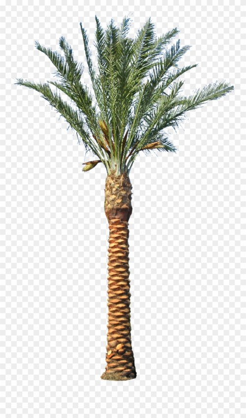 small resolution of backyard builder date palm tree transparent clipart