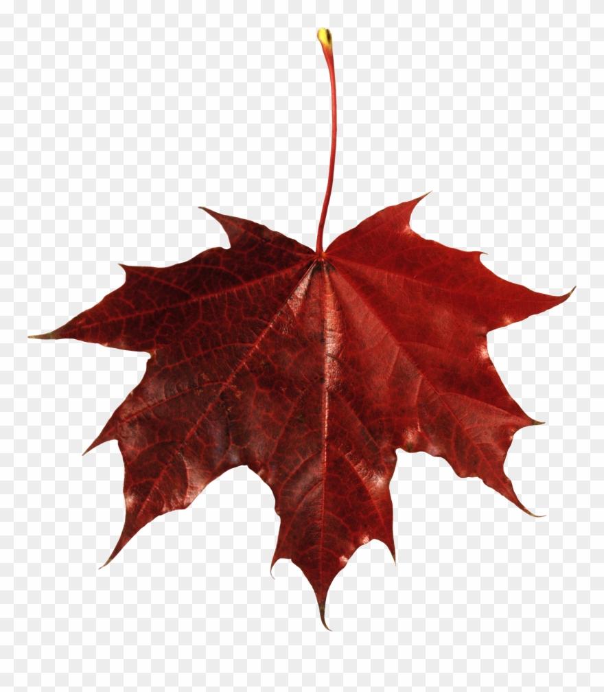 medium resolution of autumn png leaf fall leaves clip art transparent background maple leaf with transparent background