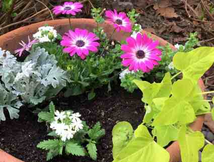 A mix of flowers in a spring garden container.