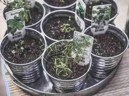 Herbs growing indoors in pots