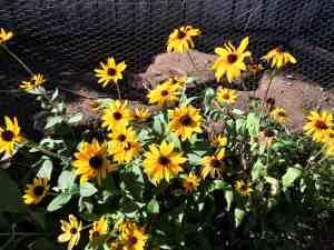 Black Eyed Susans in the Garden