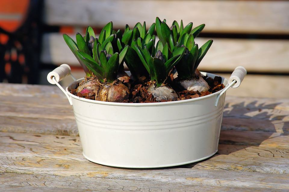 Bulbs planted in a container garden