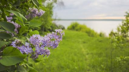 Lilacs and grass