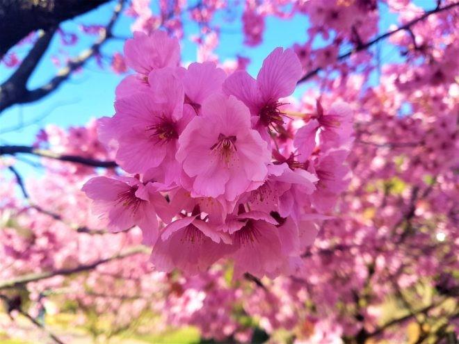 japonya'da sakura zamanı
