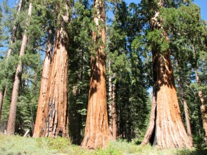 Yosemite Big Trees