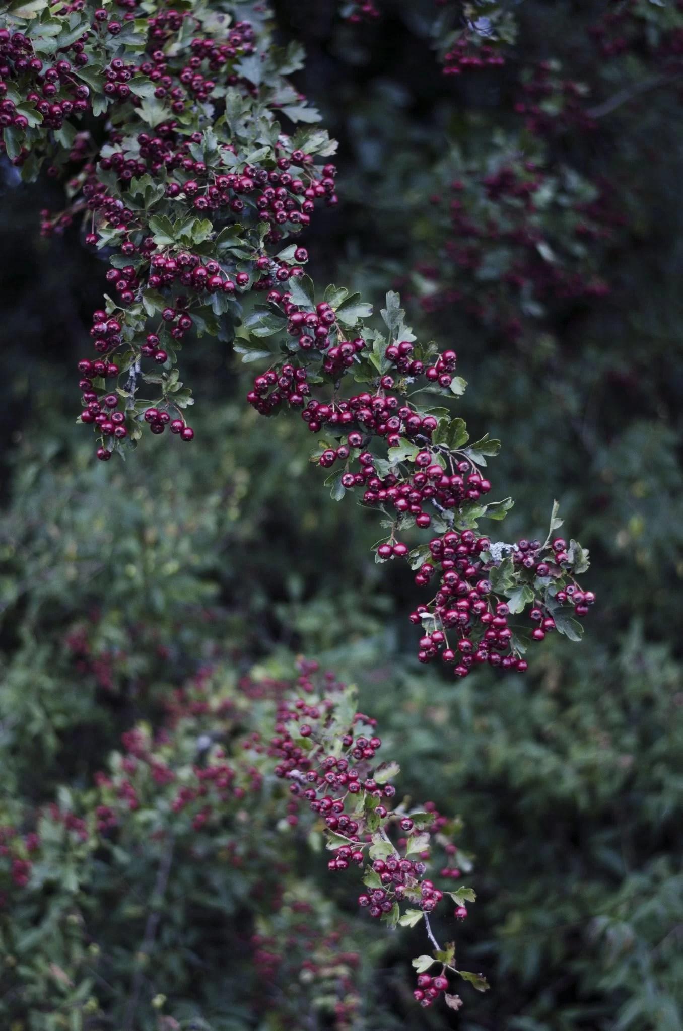 Fotofrafia krzewow jesien