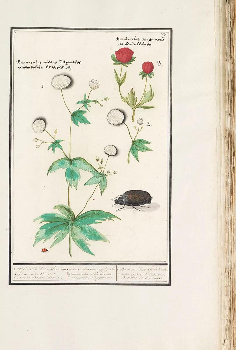 muzeum Rijksmuseum obrazy botaniczne