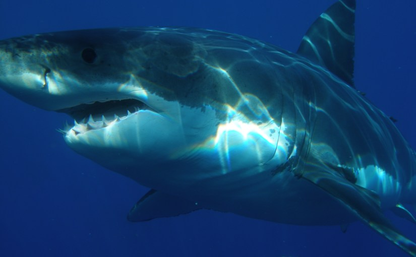 Image of a great white shark underwater.