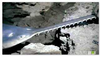 A Sawfish that was caught by Jeremy Wade in Australia during the River Monsters episode Killer Sharks and Rays.