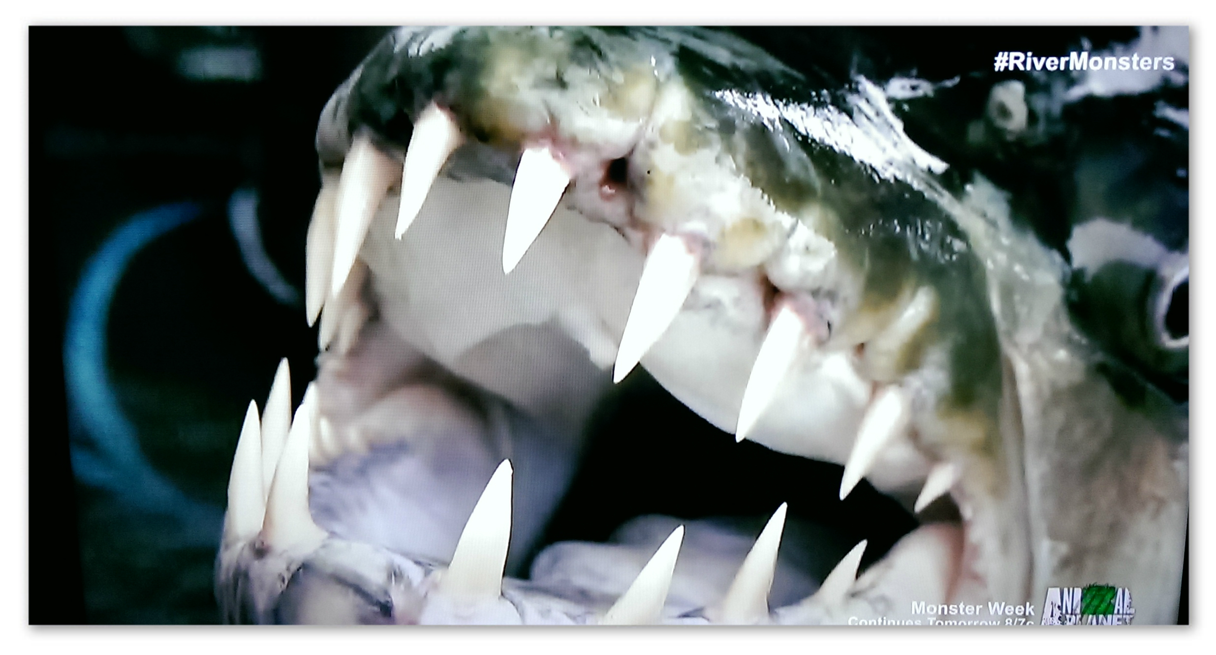 Image of a Goliath Tigerfish caught by Jeremy Wade