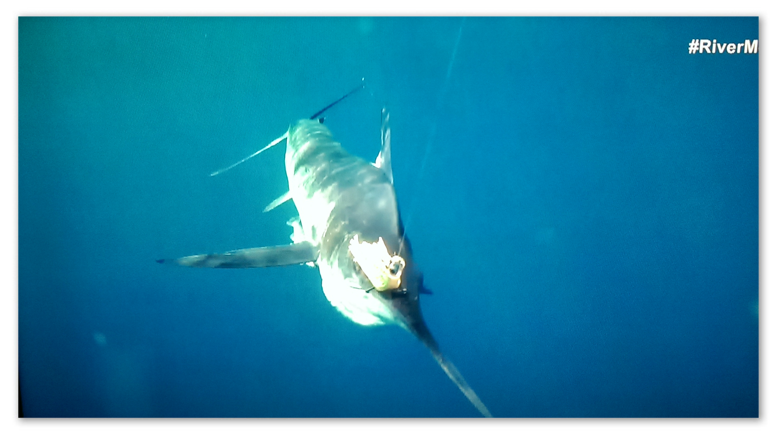 Image of a striped marlin