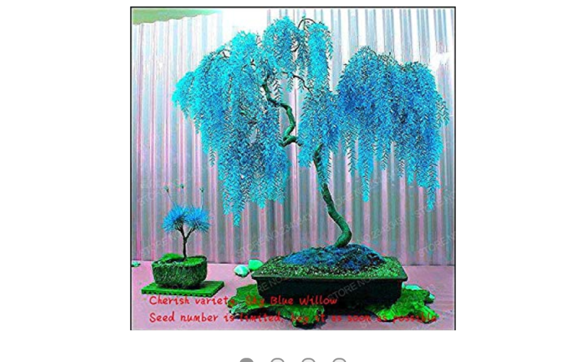 Blue Colored Evergreen Bonsai Scam on the Amazon dot Com